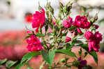 Красные розы в саду при дворце