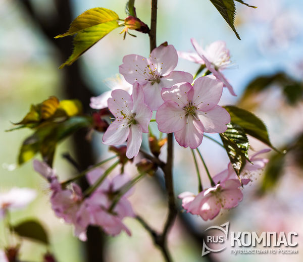 Цветы сакуры москва