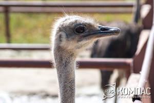 Головка самки черного африканского страуса