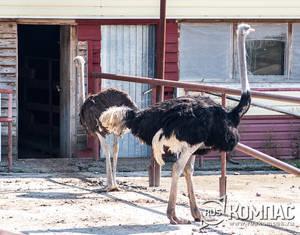Самец и самка черного африканского стауса