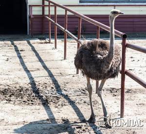 Самка черного африканского стауса