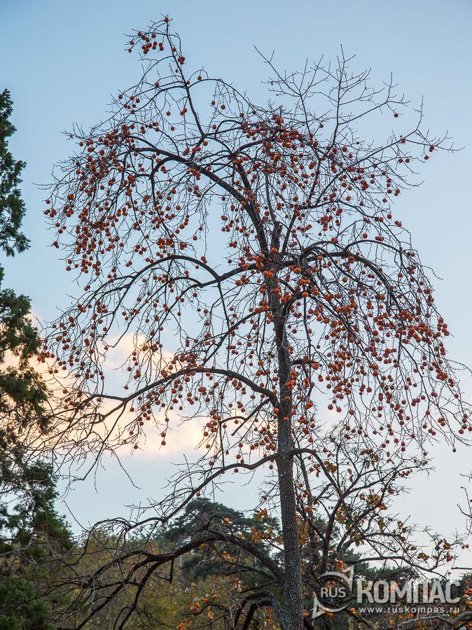 Дерево хурмы во дворе винзавода