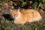 Ливадийский кот