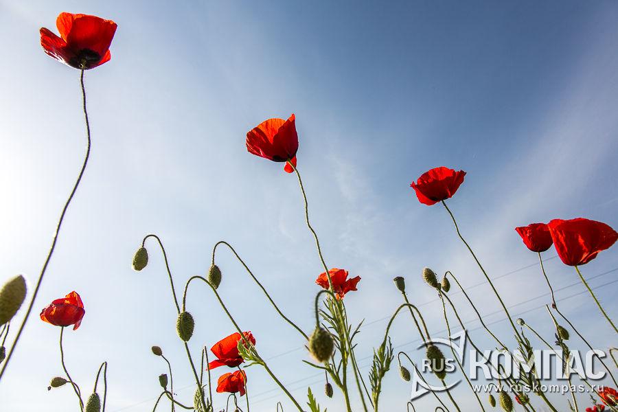 Цветущие маки в небе