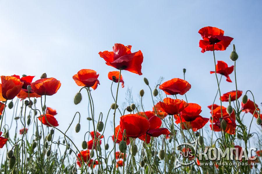 Цветущие маки в Крыму