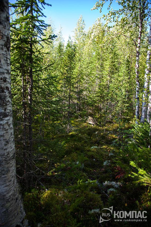 Старовозрастный лес Коми