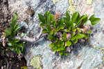 Многолетнее растение карликовой ивы