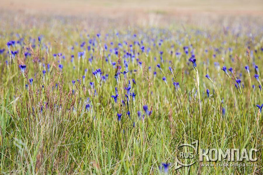 Цветущая степь на плато Укок