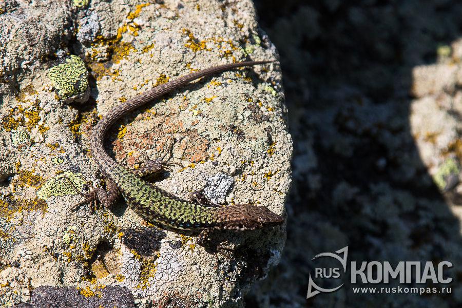 Ящерица мимикрирует под камень