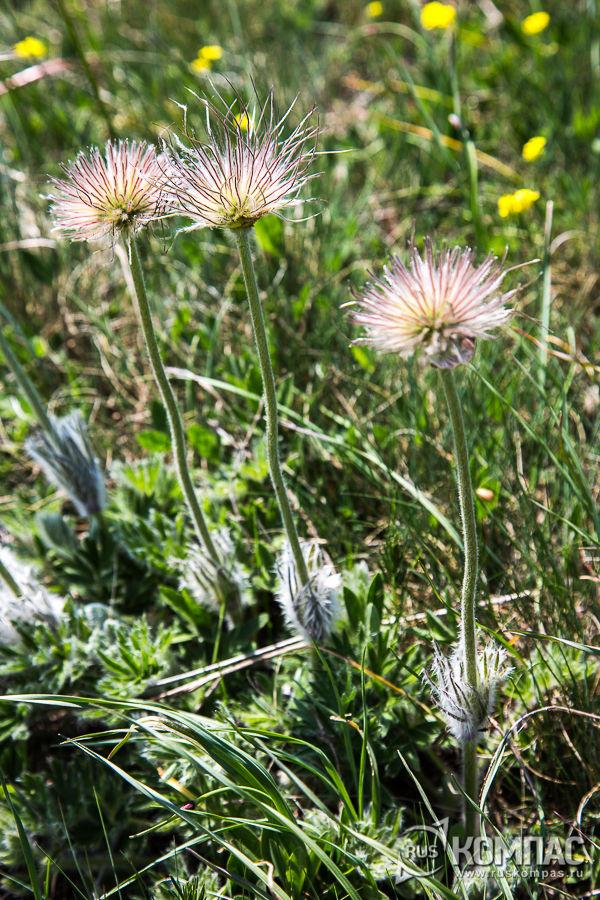 Сон-трава отцвела