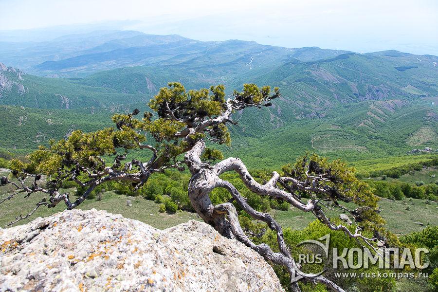 Сосны Станкевича на скалах Чомачай