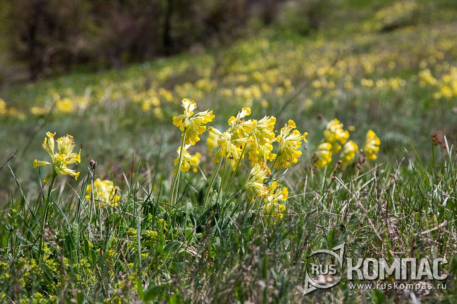 Поляны цветущей примулы на склонах Демерджи