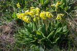Цветущая примула в урочище Демерджи
