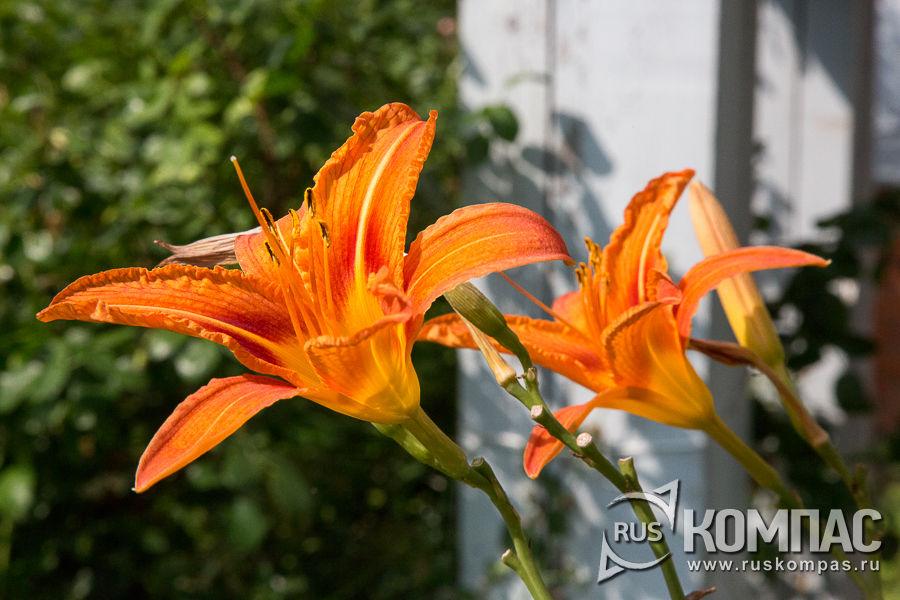 Цветущие лилии в Мелихове