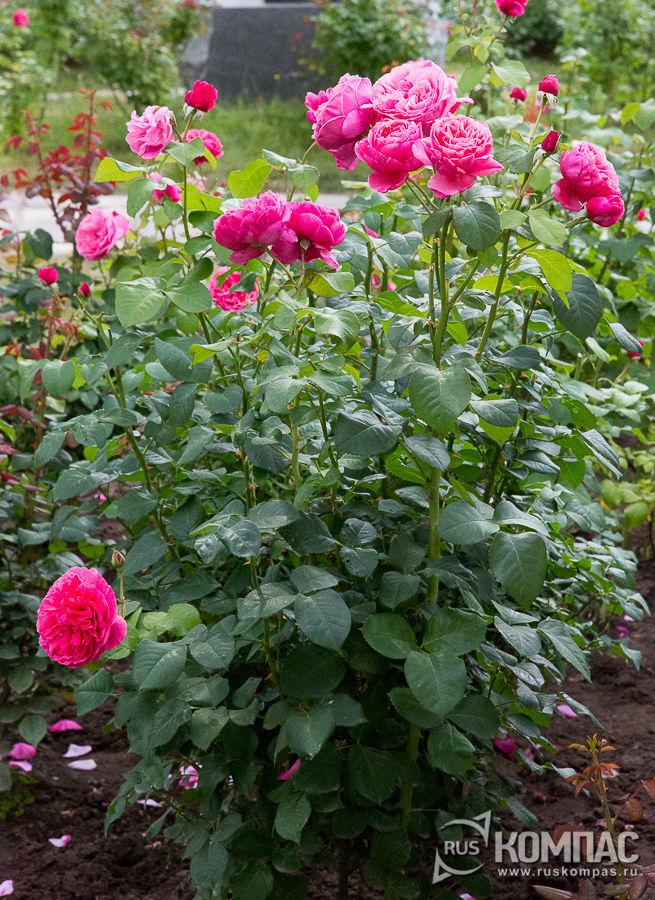 Розовые кусты в Мелихово