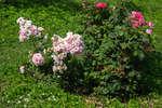 Розы в Мелихово
