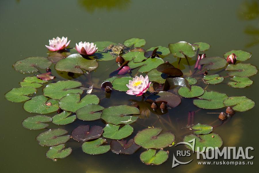 Розовые нимфеи в пруду