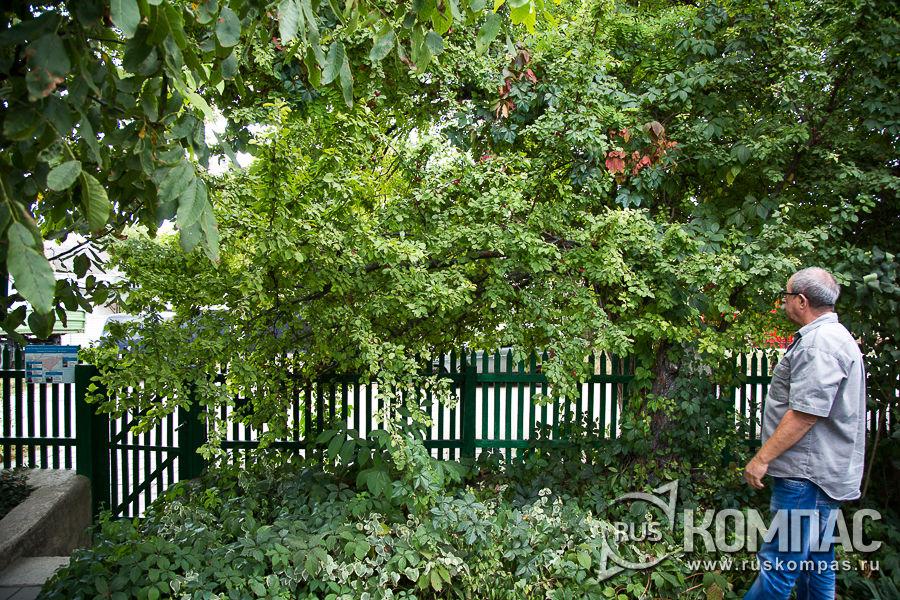 Алыча во дворе дома-музея Грина