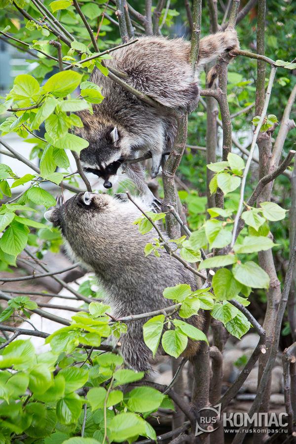 Драка енотов на дереве