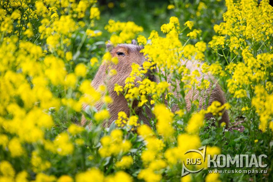 Капибара в цветах