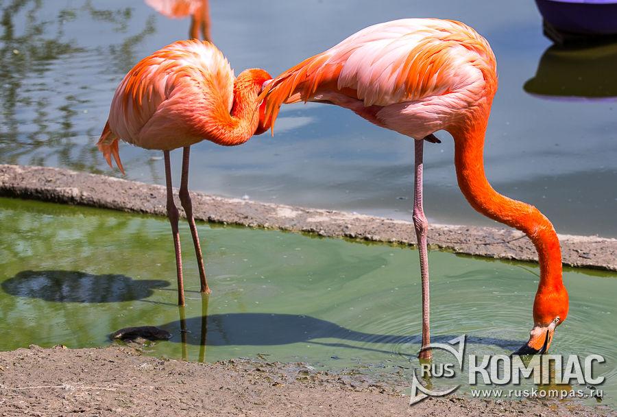 Первые фламинго в зоопарке появились в 1980-е годы