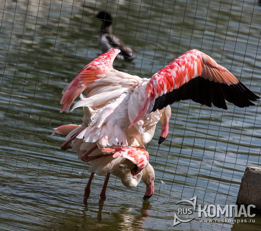 Розовые  фламинго в вольере