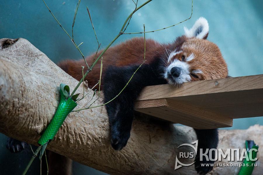 Красная панда спит