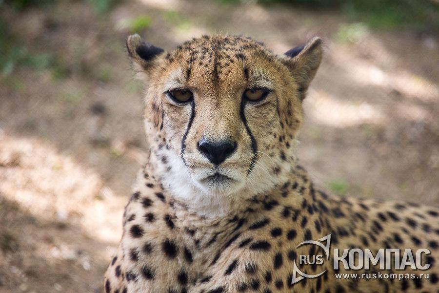 Гепард (вид в фас)