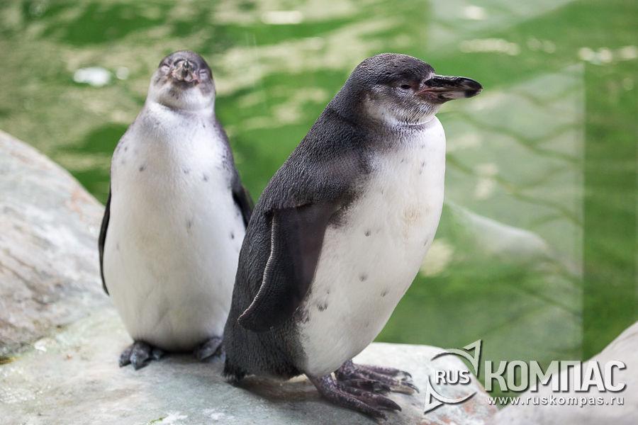 Парочка пингвинов