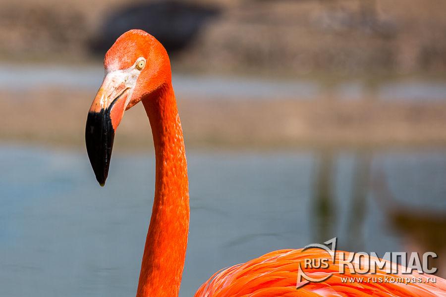 Голова фламинго