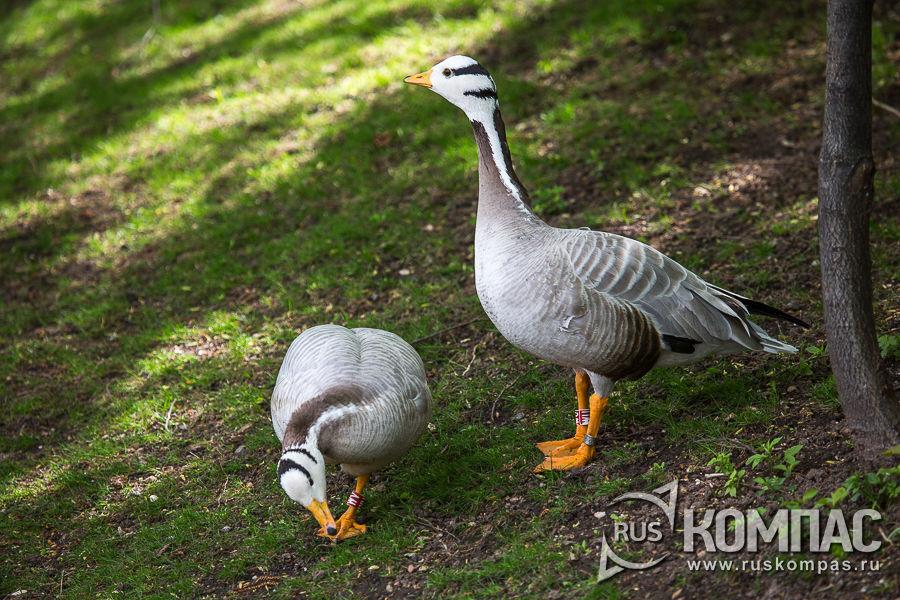 Пара горных гусей
