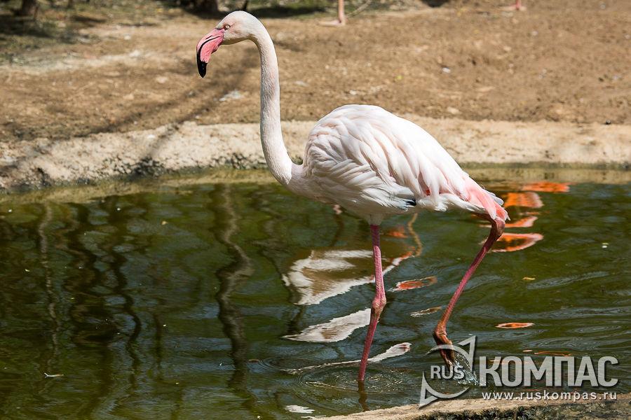Чилийский фламинго