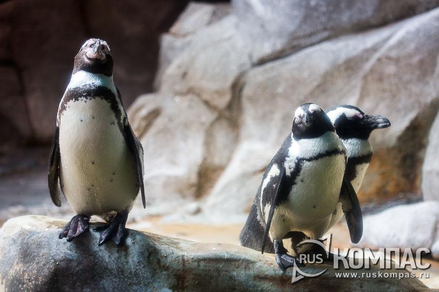 Южноафриканский пингвин