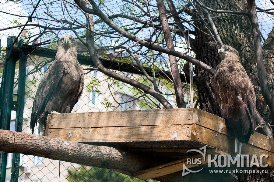 Пара белохвостых орланов