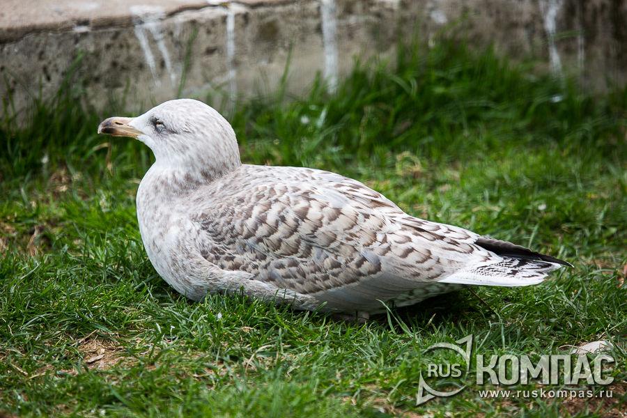 Серебристая чайка-подросток