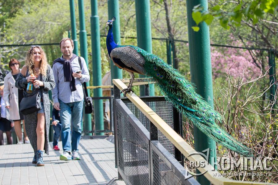 Павлин на мостике в птичьем вольере