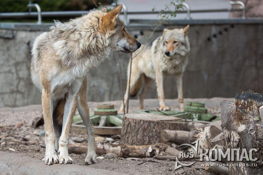 Волки разговаривают