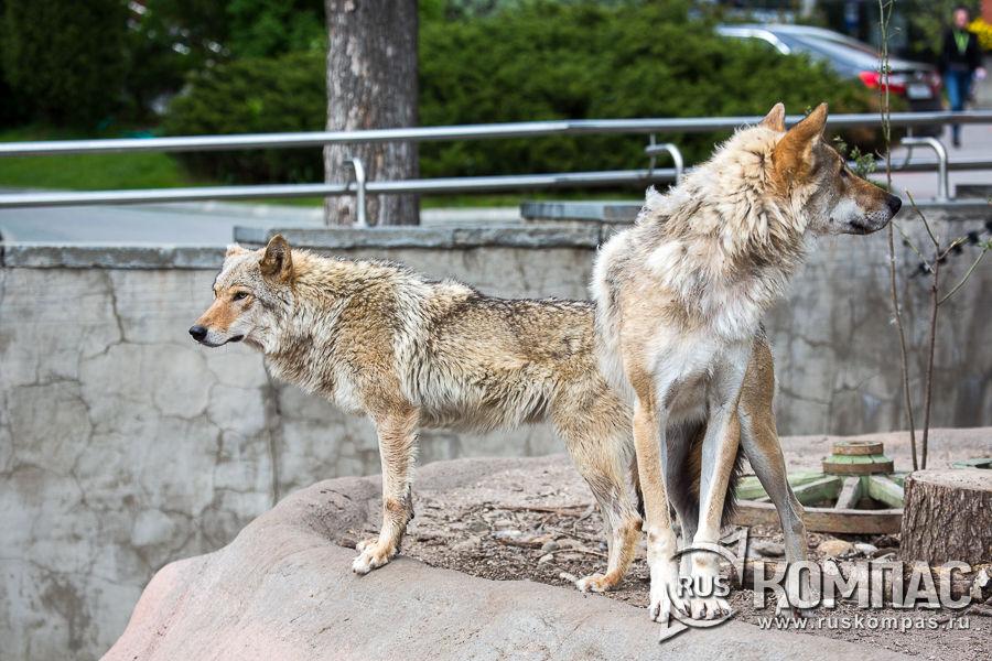 Парочка волков