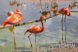 Вольер красных фламинго вблизи большого Пресненского пруда