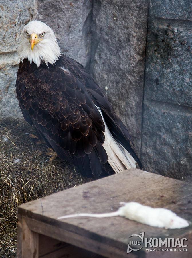 Белоголовый орлан с белой мышью на обед