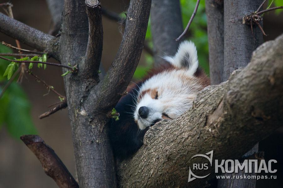 Спящая красная панда