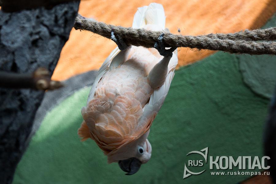 Белый какаду паясничает