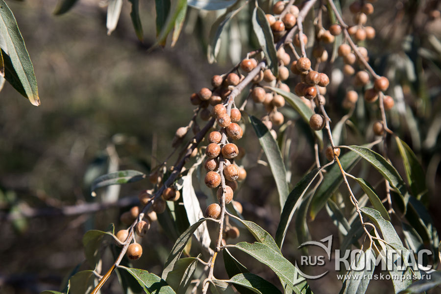 Лох серебристый или дикая маслина - символ стойкости, жизненной силы и плодовитости