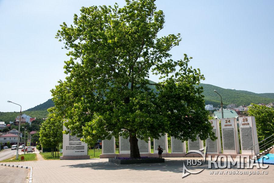 Платан, посаженный Брежневым на мемориальном комплексе «Долина смерти»