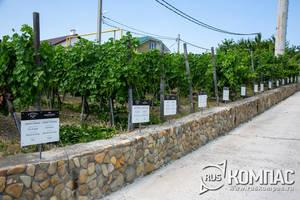 Виноградники винодельни «Мысхако» расположены вплотную к жилым домам