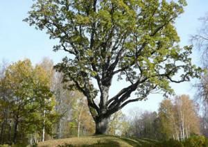 Тригорский дуб объявлен деревом - памятником всероссийского значения