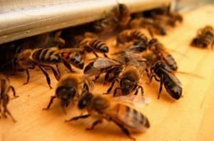 В 2014 году на Алтае появится музей пчеловодства